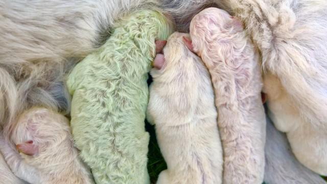 Puppy with green fur born in Sardinia