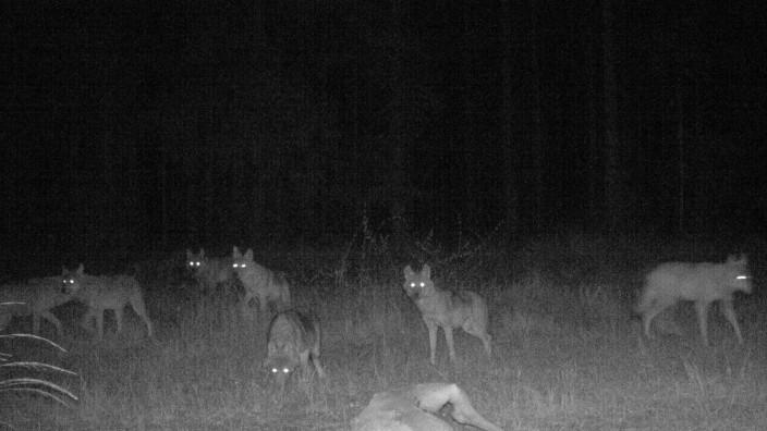Wolfsnachwuchs in der Oberpfalz