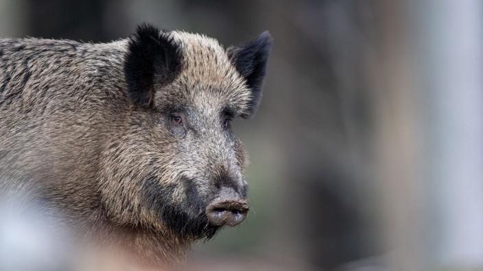 Afrikanische Schweinepest in Deutschland angekommen