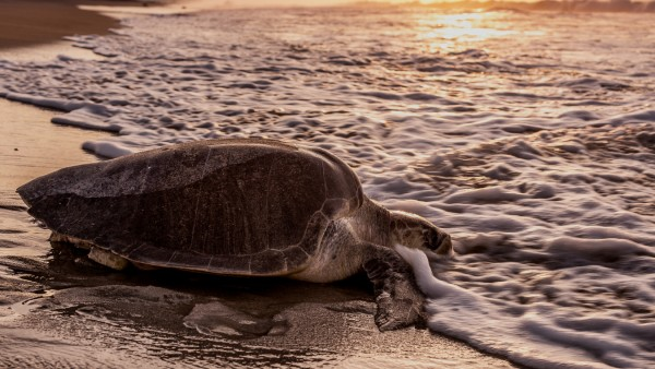 Meeresschildkröten in Mexiko