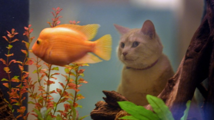 GENERAL INFORMATION: Auntie Ruth's Furry Friends' home away from home, boarding kennel...  IN THIS PHOTO: Ayla (O'Connor) a gold tabby cat, who is staying at Auntie Ruths' while her parents are away, takes a good look into the huge aquarium that separates