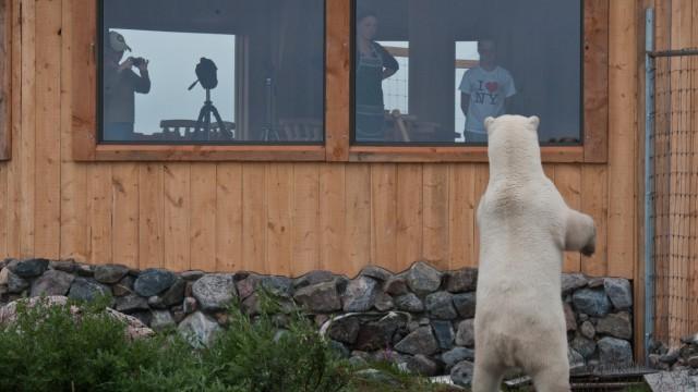 Seal River Lodge mit Eisbärin Manitoba, Kanada. Foto: Dennis Fast, Churchill Wild Die Rechte liegen bei Churchill Wild Online-Rechte: ja