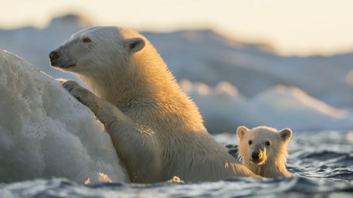 Canada Nunavut Territory Repulse Bay Polar Bear and young cub Ursus maritimus cling to melting