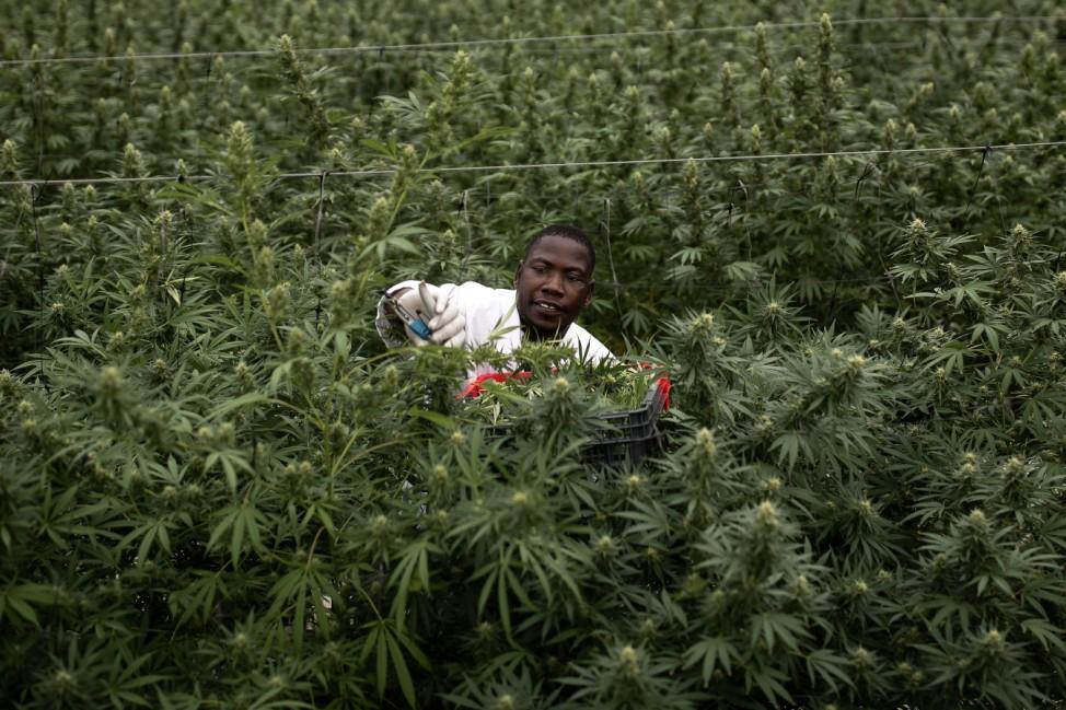 BESTPIX - Uganda Sows Seeds Of Medical Marijuana Industry