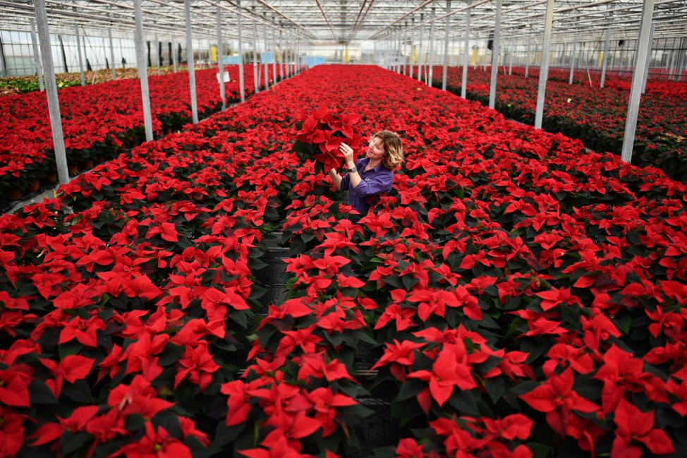 ***BESTPIX*** Traditional Poinsettia Plants Ready For Distribution As UK Prepares For Covid Christmas