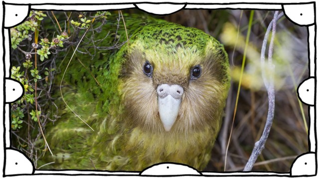 Sinbad the male Kakapo Strigops habroptilus curiously peering from the bushes during the day Cod