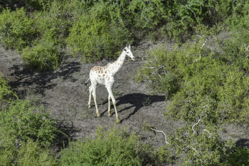 Weiße Giraffe inKenia