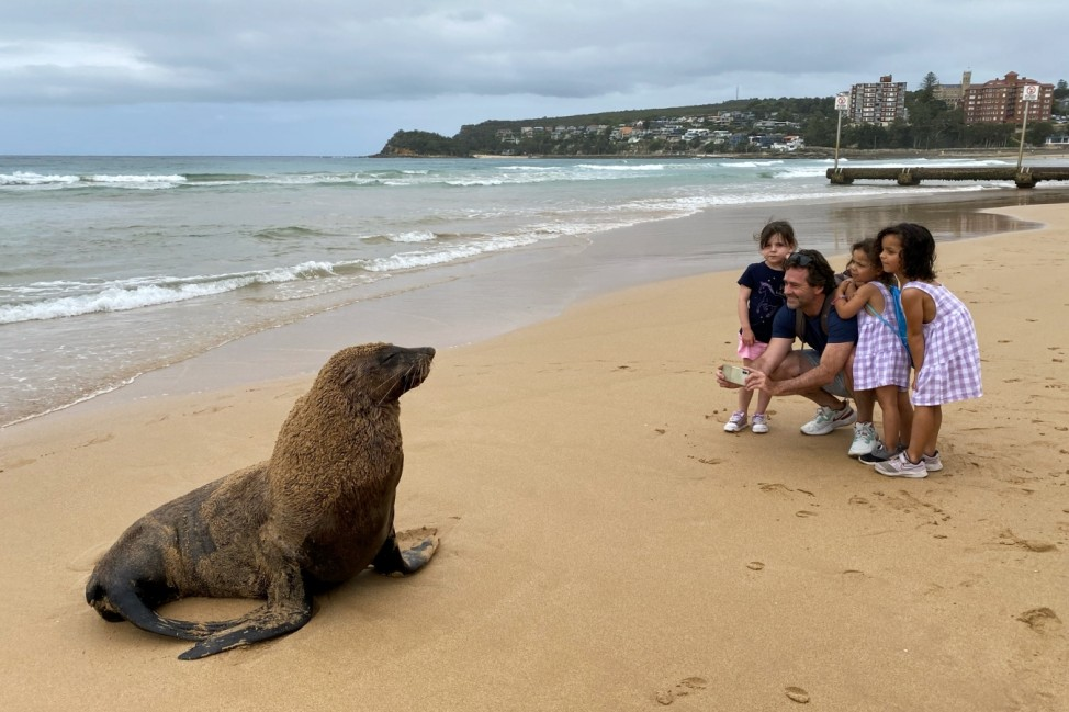 BESTPIX- New Zealand Fur Seal Washed Up In Manly