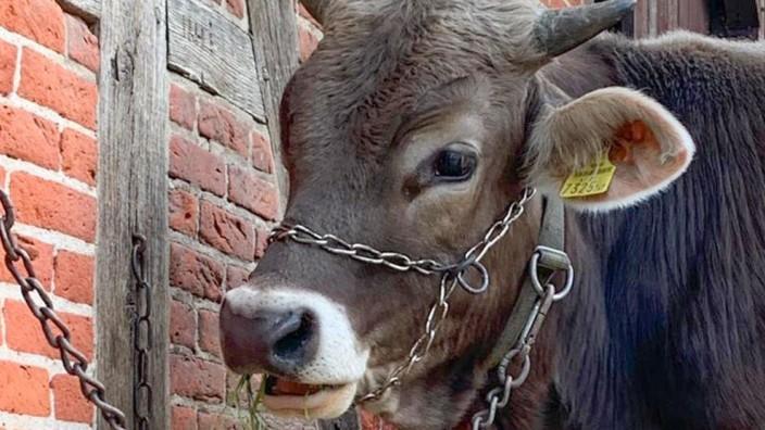 Große Sorge um die Sicherheit des Rindes Goofy
