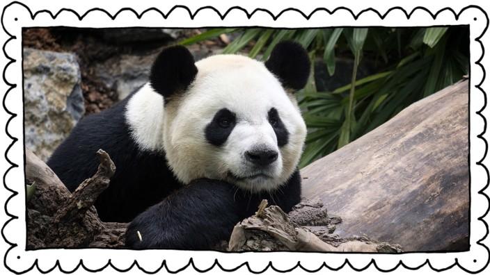 Zoo inCalgary muss Pandas nach China zurückschicken