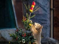 Weihnachten: Lebertran für den Eisbär