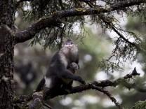 Verhaltensbiologie: Die Hebammen-Affen