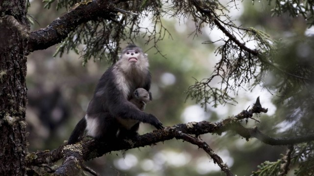Yunnan snub nosed monkey Rhinopithecus bieti sitting in tree with baby Mangkang Tibet China M
