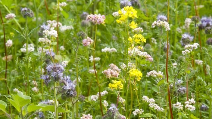 Bienenwiese am Lindenanger, Friedenseiche VIII