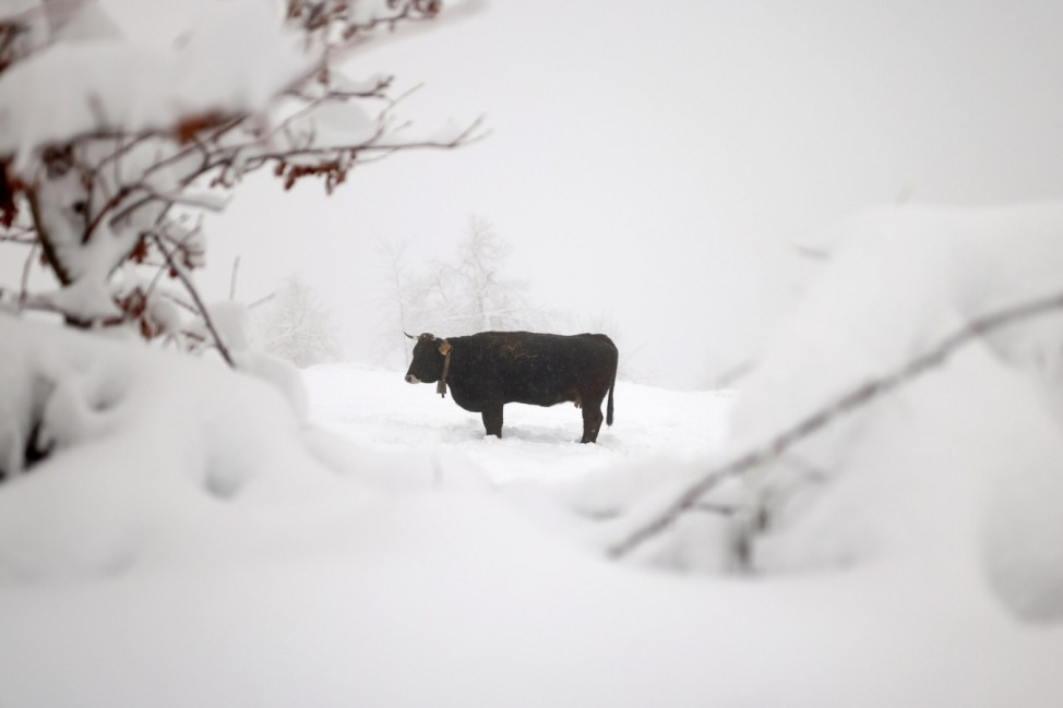A cow is photographed on a snow-covered meadow during heavy snowfall in Piornedo