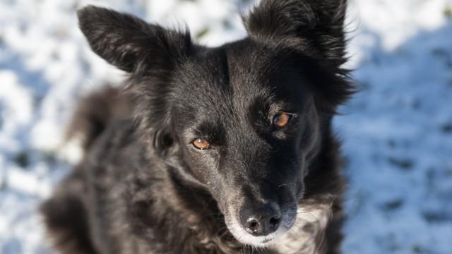Aying, Martha, der rumänische Straßenhund, oder besser die Hündin, die rund um Silvester und noch Wochen danach regelmäßig ich Schockstarre fällt.  Foto: Angelika Bardehle