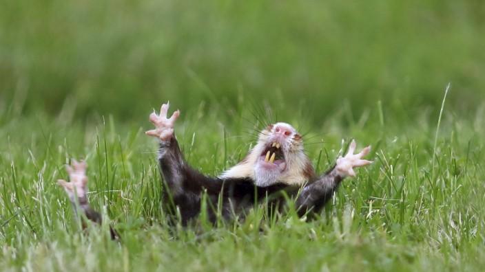 Feldhamster, Feld-Hamster, Europaeischer Hamster, Hamster (Cricetus cricetus), nach Revierkampf, unterlegener Hamster li