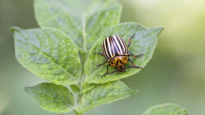 Kartoffelkäfer *** potato beetle PUBLICATIONxINxGERxSUIxAUTxHUNxONLY 1065514504