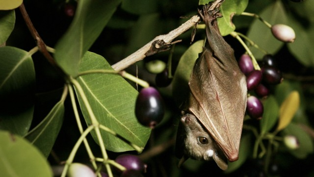 Eight million Straw coloured fruit bats arrive every October in Kasanka national park, Zambia where they feed before dissappearing in December.
