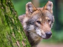 Wölfe: Fleisch gegen Freundschaft