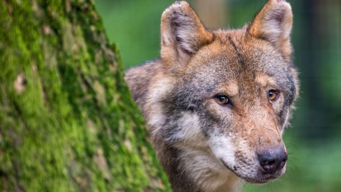 Streit um den Wolf in Nordrhein-Westfalen