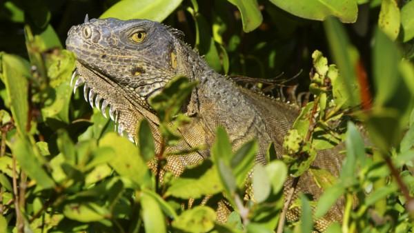 Gruener Leguan (Iguana iguana), schaut zwischen Pflanzen hervor, USA, Florida, Key Largo green iguana, common iguana (I