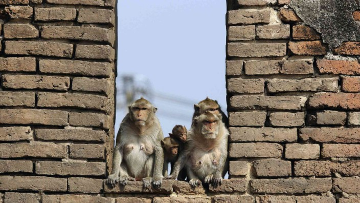 Long-tailed macaques wait for food to be served during the annual Monkey Buffet Festival at the Pra Prang Sam Yot temple in Lopburi