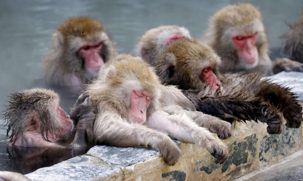 Japanese macaques soak in hot spring at Hakodate Tropical Botanical Garden, in Hakodate