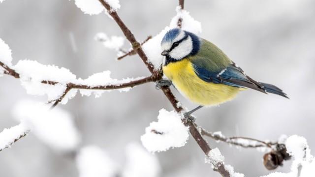 Blaumeise, Blau-Meise (Parus caeruleus, Cyanistes caeruleus), sitzt auf einem schneebedeckten Ast, Seitenansicht, Deuts