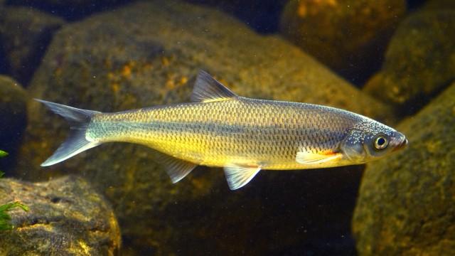 Mairenke ist bayerischer Fisch des Jahres 2021