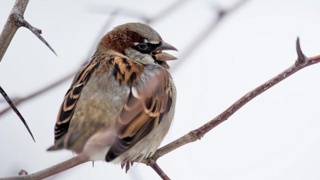 Häufigste Wintervögel sind Spatz, Kohlmeise und Amsel