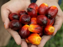 FILE PHOTO: A Sime Darby Plantation worker shows palm oil fruits at a plantation in Pulau Carey