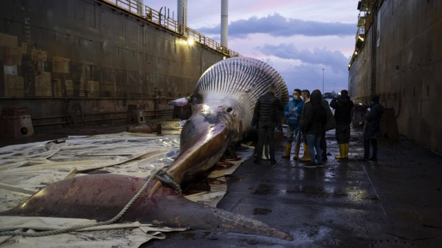 Dead Whale in Napoli Like a funeral procession, in the night, on a mirror of black sea. The whale that died last Thursd