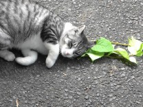 Katze reibt sich an Katzenminze