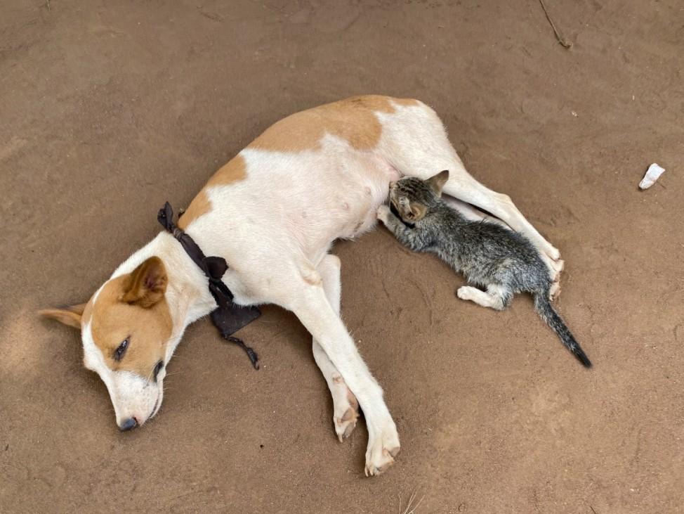 A dog is seen feeding a kitten, in Ogun state