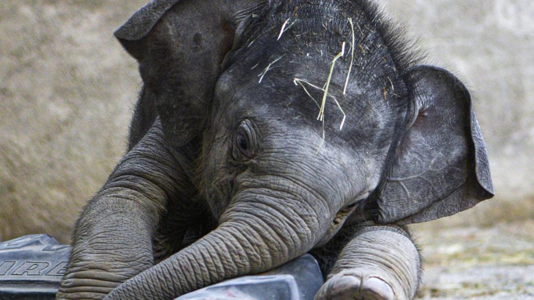 München: Elefantenbaby Otto im Tierpark Hellabrunn