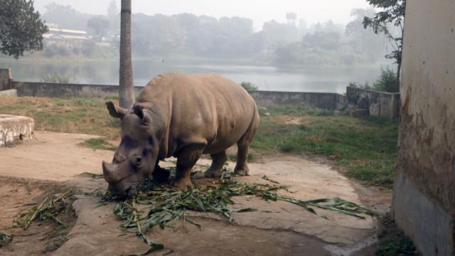 Einsame Nashorn-Dame im Zoo in Bangladesch
