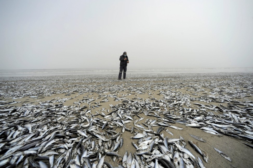 An employee from Chile's SERNAPESCA looks at dead fish washed up on shore in Horcones