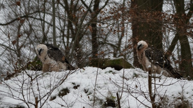 Bartgeier im Schnee