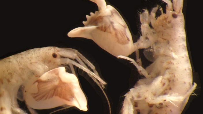 Blitzschnelle Schnapper: Flohkrebse an der Grenze des Möglichen; Flohkrebs