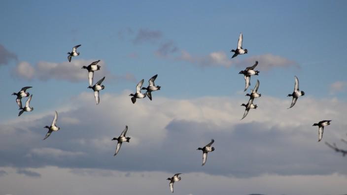 Wasservögel am Starnberger See
