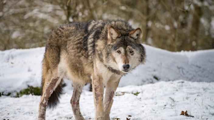 Winter im Tierpark Hellabrunn; Tierpark Hellabrunn: Wolf Asslan gestorben