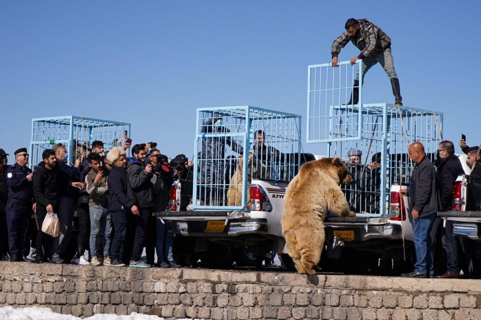 February 11, 2021, Duhok, Iraq: A bear is being release out of his cage to find his freedom..The release of six bears i