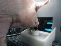 Intelligenzforschung: Schweinisch gute Spieler