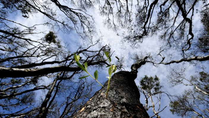 PEREGIAN FIREGROUND NEW GROWTH, Green shoots are seen sprouting from bushfire affected trees at Peregian Beach on the Su