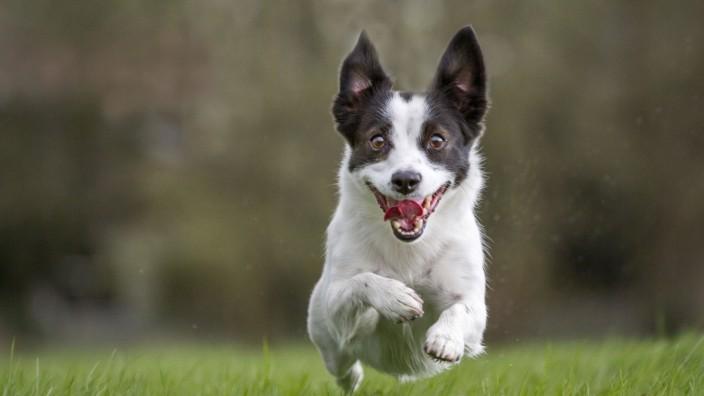 Dog Jack Russell running PUBLICATIONxINxGERxSUIxAUTxONLY Copyright: JohanxDexMeester 11006357