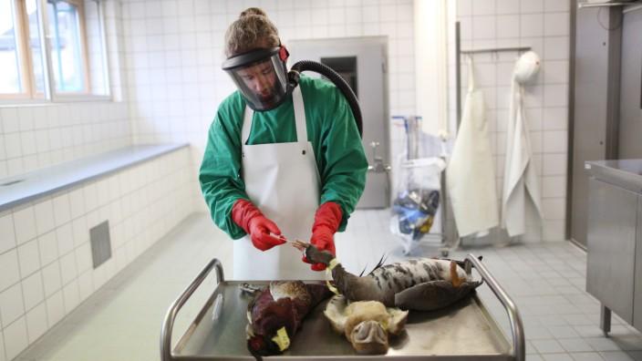Vogelgrippe-Untersuchung