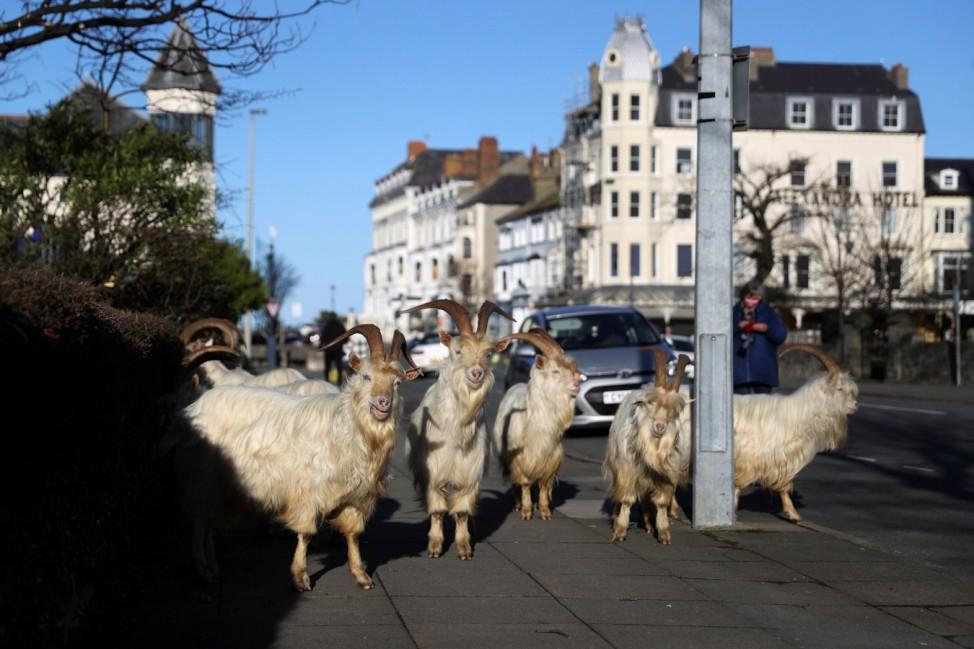 Goats roam on the streets of Llandudno