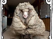 """SZ-Kolumne """"Bester Dinge"""": Kommt ein Schaf zum Friseur …"""