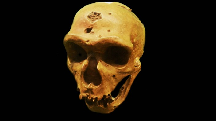 The Neanderthal an extinct member of the Homo genus that is known from Pleistocene specimens found i